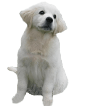 golden-retriever-puppies-for-sale-bluebreeze-kennels-breeder