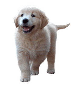 bluebreeze-kennels-golden-retriever-showdogs-puppies