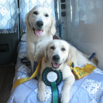 cleo-and-tuppence-ribbons-golden-retriever-purebred-dog