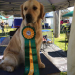 quest-ribbon3-golden-retriever-purebred-dog