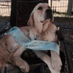 pan-fun-golden-retriever-purebred-dog