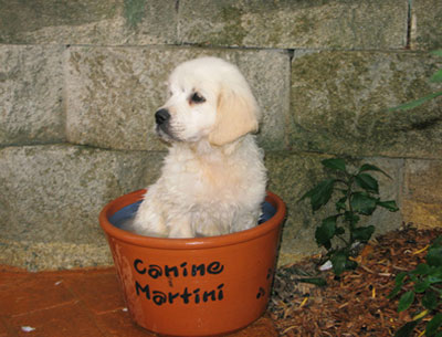 Golden Retriever Puppies ~ The Hollywood Bowl ~ Hollywood